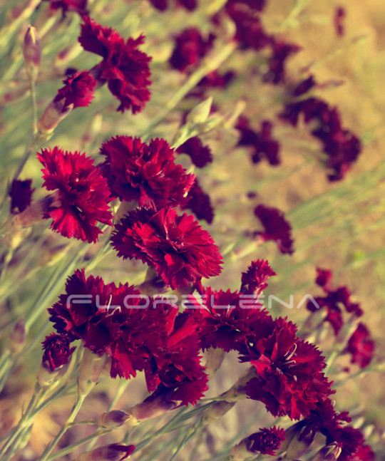 Beautiful dark red carnation flowers on field
