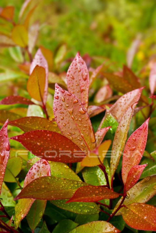 Green and red leaves of evergreen plant (photinia fraseri)