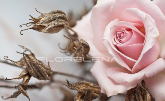 Pink rose and withered plant