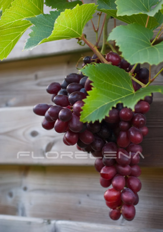 Red grapes ready for harvest
