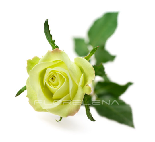 One green rose isolated on white background