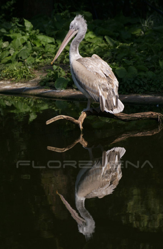 Reflection of pelican
