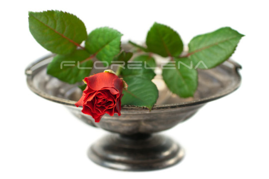 Red rose on antique silver bowl