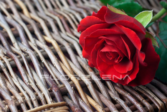Red rose on wicker background