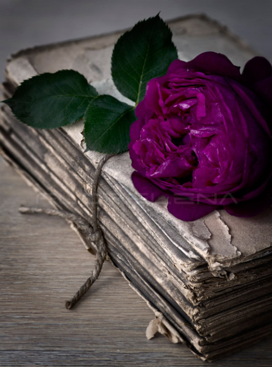 Old book and purple old english rose